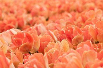 Tulpenveld van Bart Bokslag