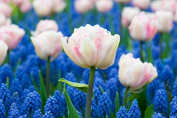Pink tulips and muscari  - Keukenhof von Tamara Witjes
