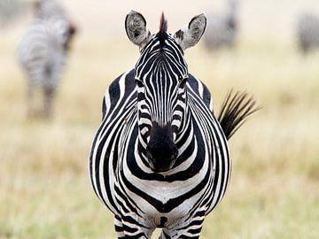 Zèbre dans le Masai Mara sur Angelika Stern