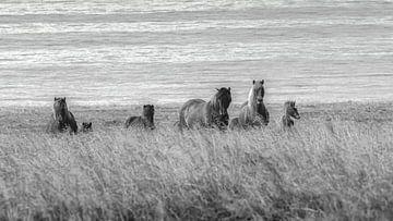 Islandpferde am Strand von Thomas Heitz