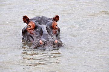 Nijlpaard in een rivier van Peter Mooij