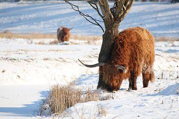 Schotse Hooglander in de winter von EnRICoPictures Fotografie Lub