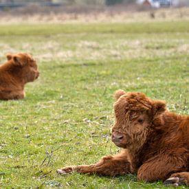 Twee jonge kalfjes liggen te rusten van Heleen de Silva