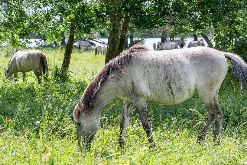 Weidendes Konik-Pferd von Diantha Risiglione