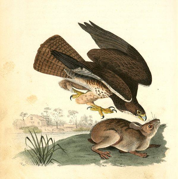 Buizerd, Common Buzzard., Audubon, John James, 1785-1851 van Liszt Collection