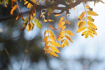 goldene Herbstblätter einer Eberesche im Gegenlicht, blauer Hintergrund mit Kopierraum, gewählte Sch von Maren Winter