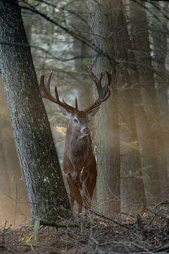 Red Deer (Cervus elaphus ), stag in the woods van wunderbare Erde