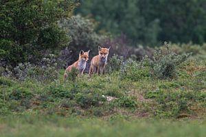 jonge vosjes