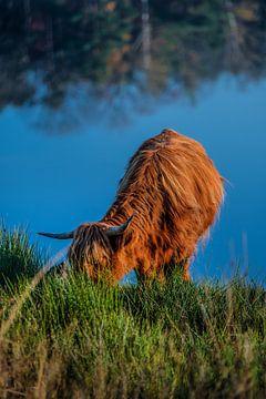 Schotse Hooglander van Bas Fransen