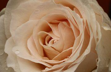 Rose Rose von Pim van der Horst