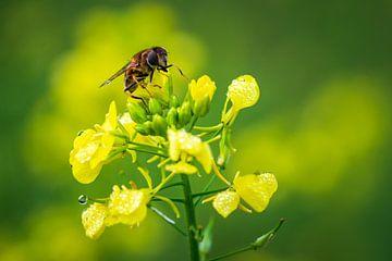 Biene auf Raps am frühen Morgen von Esther's Photos