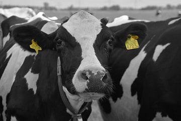Koeien zwart/wit van