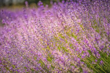 Lavendelfeld frankreich von Tonny Visser-Vink
