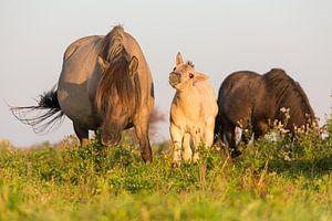 Paarden | Konikpaard veulen Oostvaardersplassen
