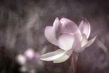 Lotos Blume in sanftem Licht von Annette Hanl