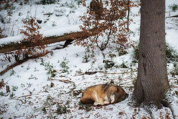 Slapende wolf van Monique Pouwels
