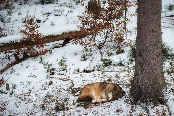 Slapende wolf