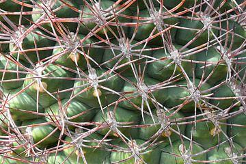 Kaktus Nahaufnahme von Studio Maria Hylarides