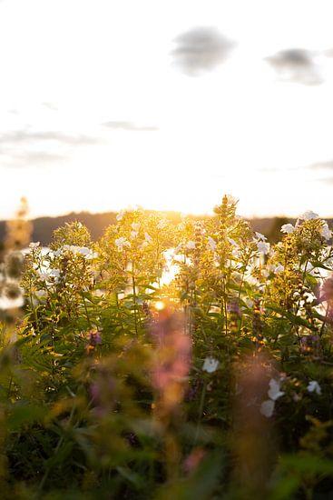 Bloemen in avondlicht
