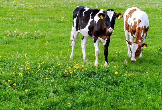 Hollands landschap met koeien