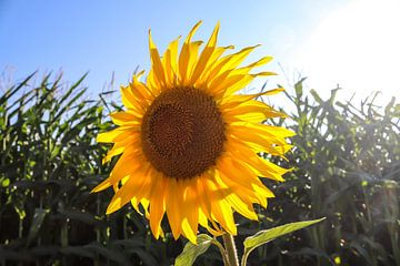 Nahaufnahme von Sonnenblumen in einem Maisfeld von MPfoto71