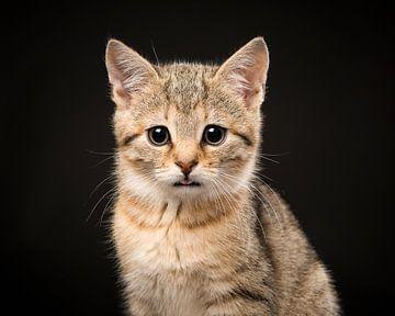 Cypers kitten van Elles Rijsdijk