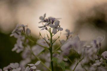 duistere lentebloem van Tania Perneel
