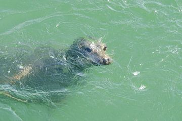 zeehond onderwater von
