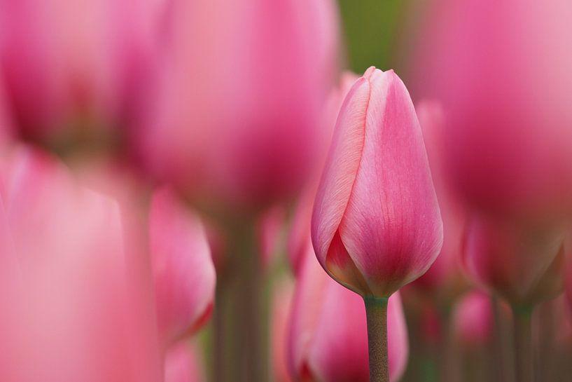 Roze tulpenveld von Astrid Brouwers