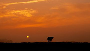 Koe in silhouette tijdens Zonsopkomst van R Smallenbroek