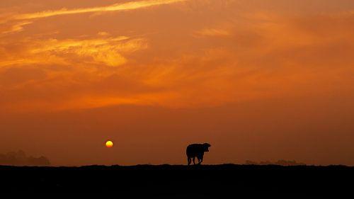 Koe in silhouette tijdens Zonsopkomst