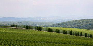 Cipressen tussen de wijnvelden van