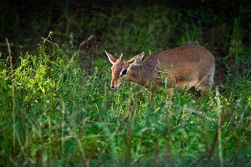 der Süße unter den Grünen. Kirk's Dik-Dik - ist eine kleine, in Ostafrika heimische Antilope auf grü von Michael Semenov
