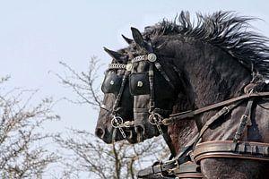 Drie Friese paarden