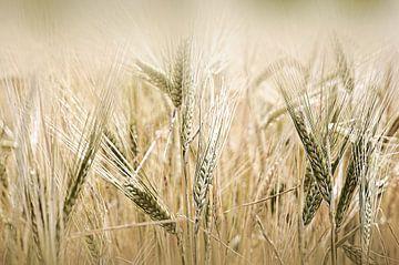 Champ de blé sur Martine Affre Eisenlohr