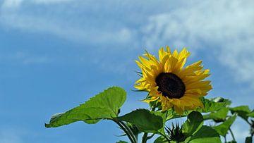 Sonnenblume von Ostsee Bilder