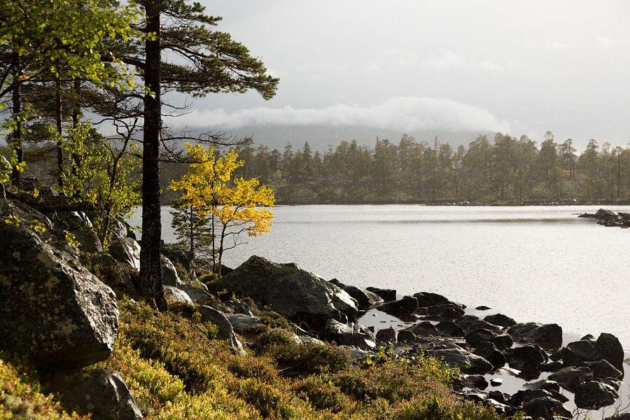 Golden tree Femundsmarka Norway van Gijs de Kruijf