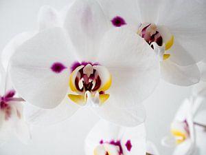 Orchidee in bloei van Anne Stielstra