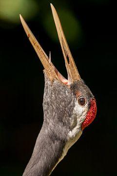 Paringsroep Japanse kraanvogel. van Michar Peppenster