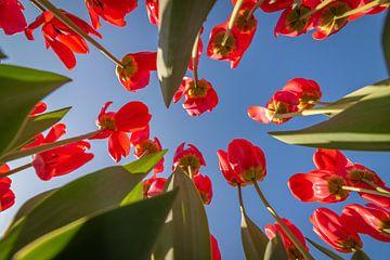 Rote Tulpen mit blauem Himmel von Remco-Daniël Gielen Photography