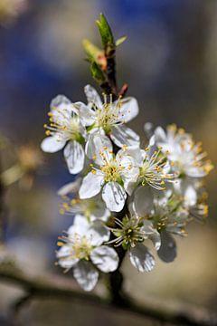 Blüte im Frühling von Hans Vos Fotografie