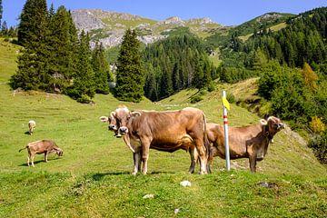 Kühe auf Alpweide von Johan Vanbockryck