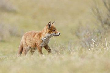 Red fox cub sur Menno Schaefer