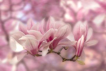 Magnolien in zartem Rosa von Ursula Di Chito