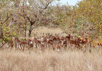 springbokken in Timbavati Private Game Reserve van Jack's Eye