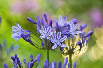 Blauwe agapanthus bloemen von Corinne Welp