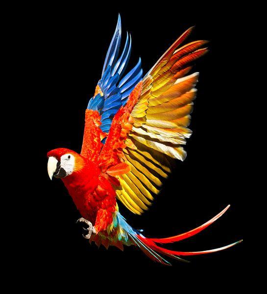 Scarlet Macaw van Ulrich Brodde
