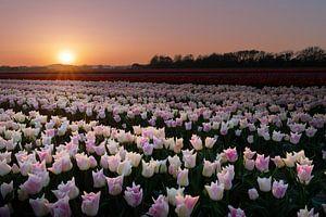Tulpenveld tijdens een zonsondergang van