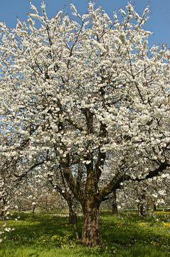 bloeiende hoogstamkersenboom van George Burggraaff