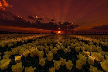 Tulips at Night van Mario Calma